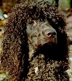 IrishWaterSpanielmolly.jpg (27819 bytes)